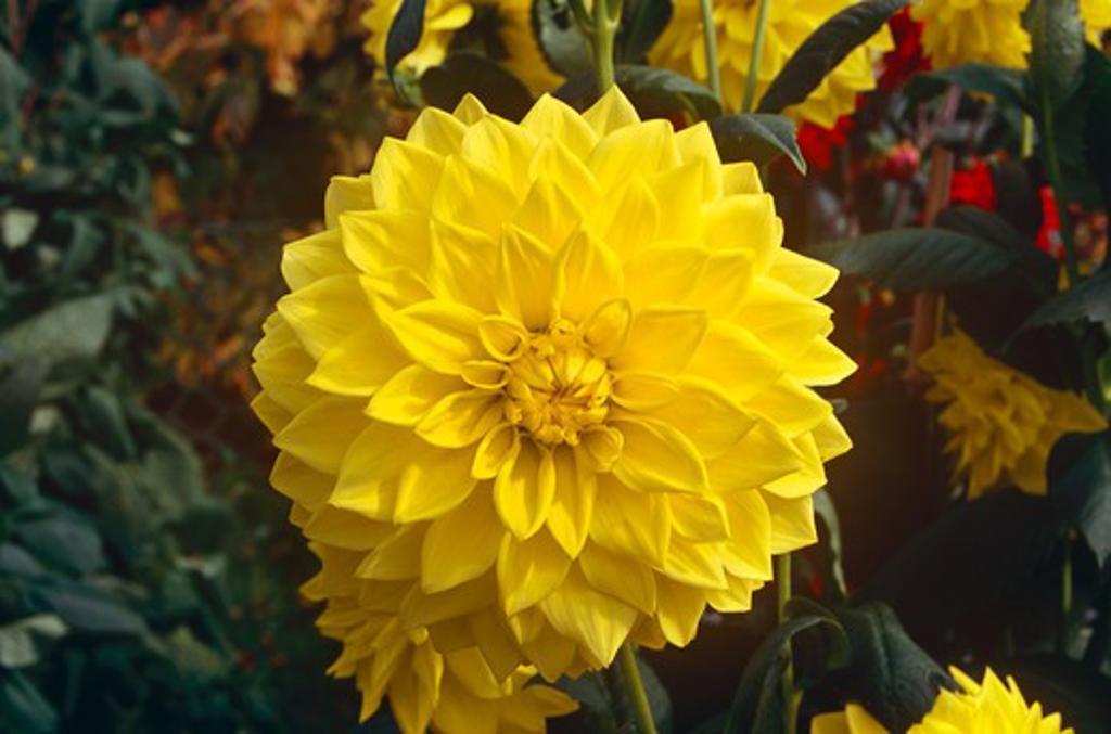 Yellow dahlia in the gardens of Hever Castle, near Edenbridge, Kent, England : Stock Photo