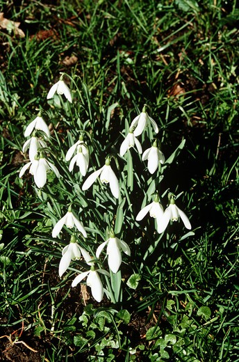 Stock Photo: 4290-8989 Snowdrops, Cotswolds, Gloucestershire, England.
