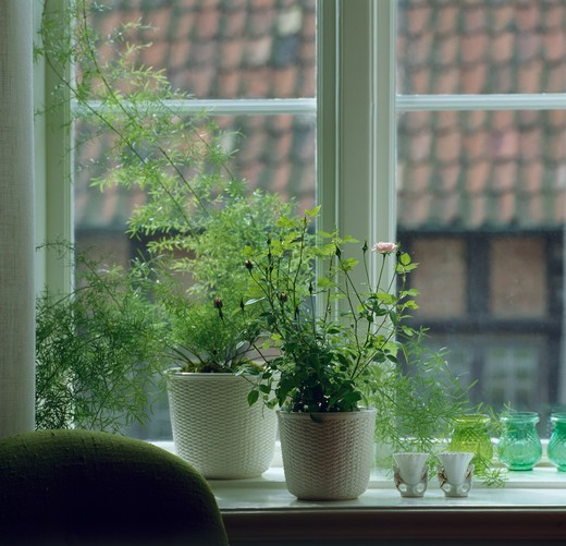 Stock Photo: 4291-10364 Close-up of pink miniature rose in white pot beside maidenhair fern in pot on window sill