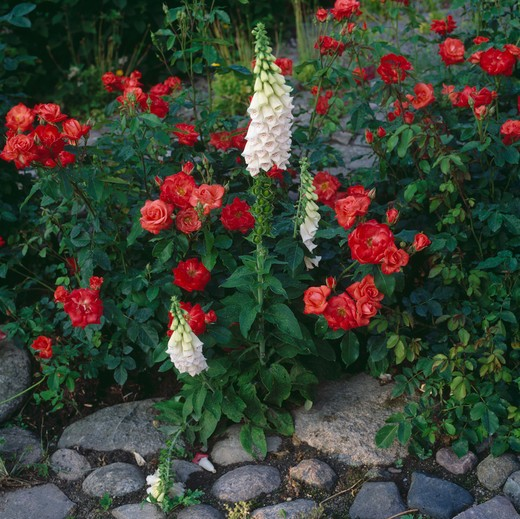 Stock Photo: 4291-10468 White foxglove growing withorange/red roses by a stoney path