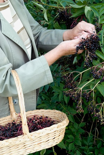 Stock Photo: 4291-10708 Woman picking elderberries from hedgerow.