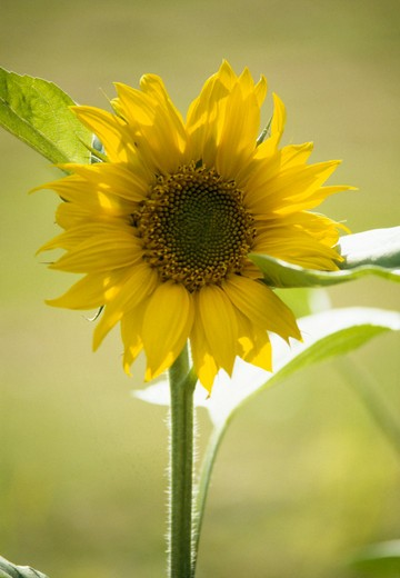 Stock Photo: 4291-1113 Close up of single annual sunflower bloom.