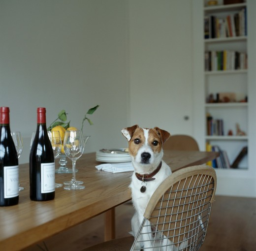 Jack Russell dog sitting on chair in dining room : Stock Photo