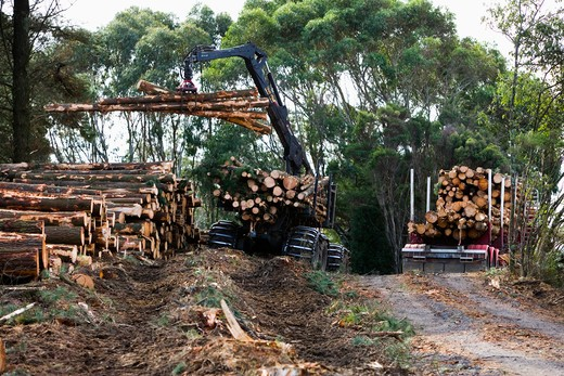 Stock Photo: 4291-18388 Pine logs being loaded onto truck, Otway Ranges, Victoria, Australia