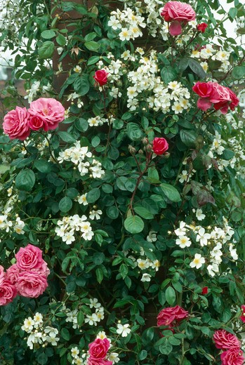 Stock Photo: 4291-21500 Close-up of climbing rose 'Filipes 'Kiftsgate' with pink rose 'Etude'