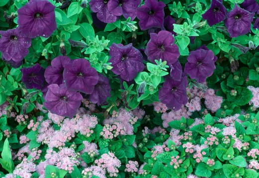Close up of deep blue petunia with paler ageratum after rain. : Stock Photo
