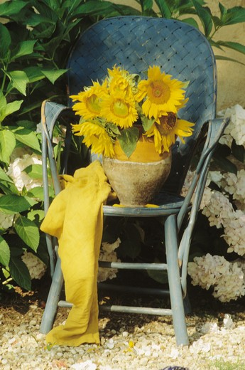 Stock Photo: 4291-22232 Yellow sunflowers on blue chair in country garden in summer