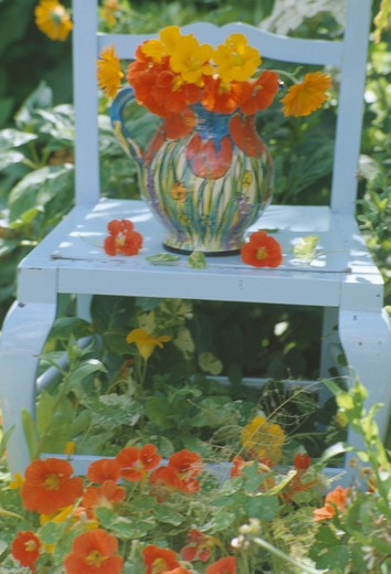 Jug of yellow and red nasturtiums on old white chair standingin orange nasturtiums in summer garden : Stock Photo