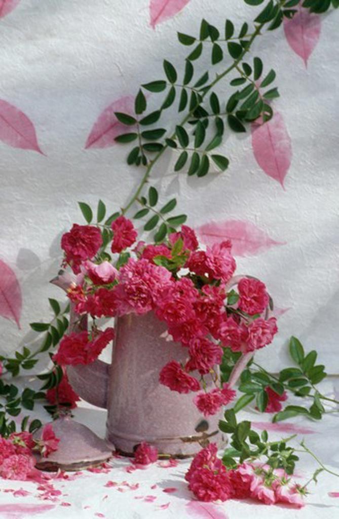 Still-life of dark pink roses in pink enamel pot : Stock Photo