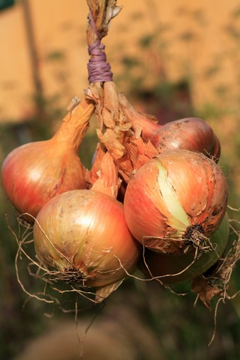 Stock Photo: 4291-23982 Close up of onions