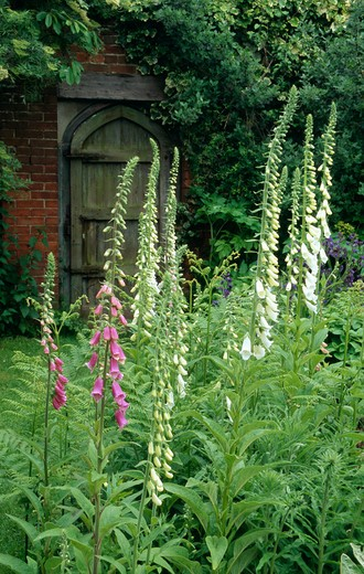 Stock Photo: 4291-4004 White fox gloves in walled garden