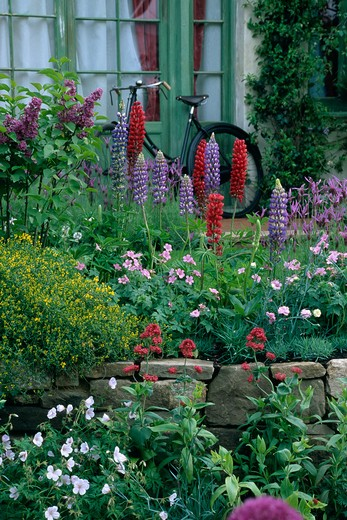 Stock Photo: 4291-4051 Lupins and flowering plants above small stone wall in summer garden
