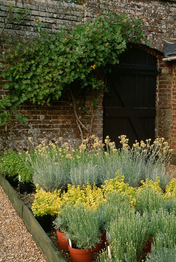 Stock Photo: 4291-4243 Pots of lavender in walled country garden