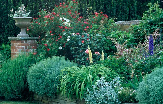 Stock Photo: 4291-4388 Roses with santolina and stachys in herbaceous border in large country garden in summer