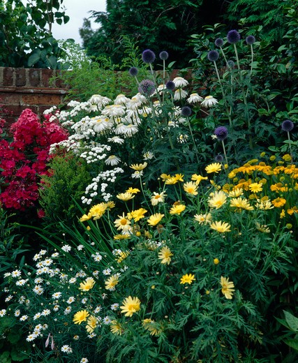 Stock Photo: 4291-4604 Corner of a summer perennial border with phlox,marguerite andglobe thistle .
