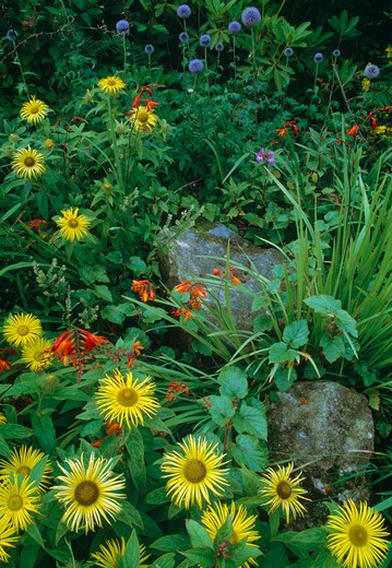 Close up of a section of perennial border with inula ,montbretia andglobe thistle. : Stock Photo