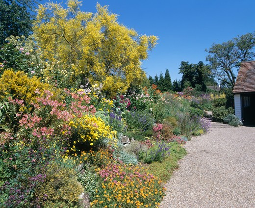 Stock Photo: 4291-4638 Gravel path beside herbaceous border with yellow-flowering shrubs in large country garden in summer