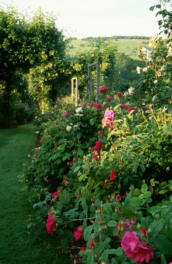 Stock Photo: 4291-4723 Pink roses in scented country garden in summer