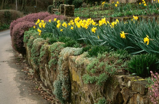 Yellow daffodils growing in raised spring border above mossy stone wall beside drive : Stock Photo