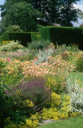 Stock Photo: 4291-8549 Lavender and pastel orange alstroemerias with alchemilla 'mollis' in summer garden border at Jenkyn Place