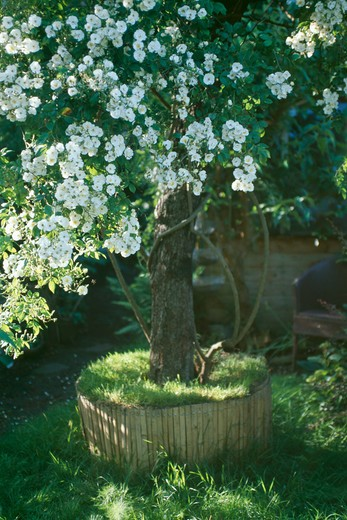 Stock Photo: 4291-8946 Rosa Filipes Kiftsgate in raised circular bed