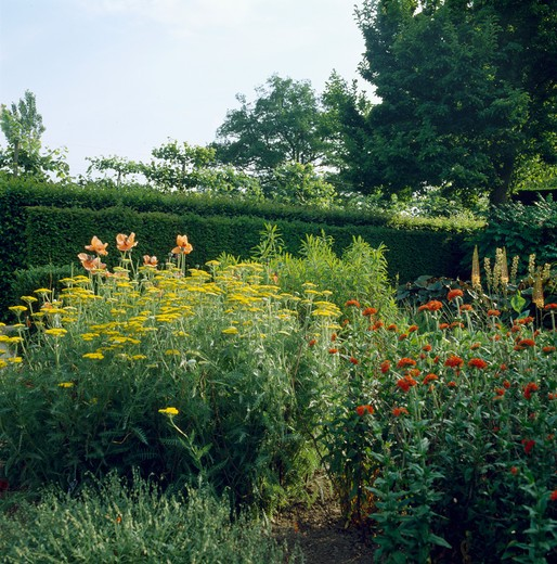 Yellow and orange flowering perennials in borders in country garden in summer : Stock Photo