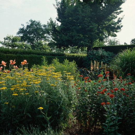 Yellow achillea in herbaceous border in large country garden in summer : Stock Photo
