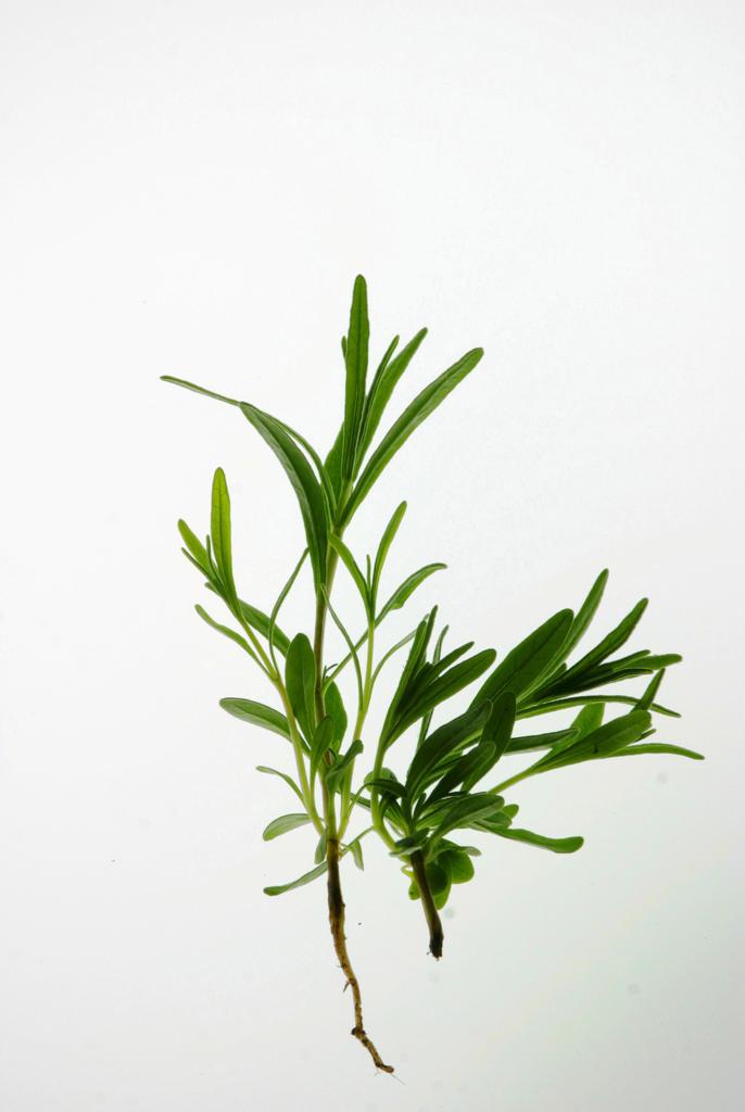Lavender : Stock Photo
