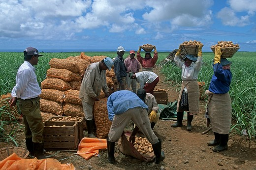 Stock Photo: 4292-105705 Mauritius, potatoes harvesting