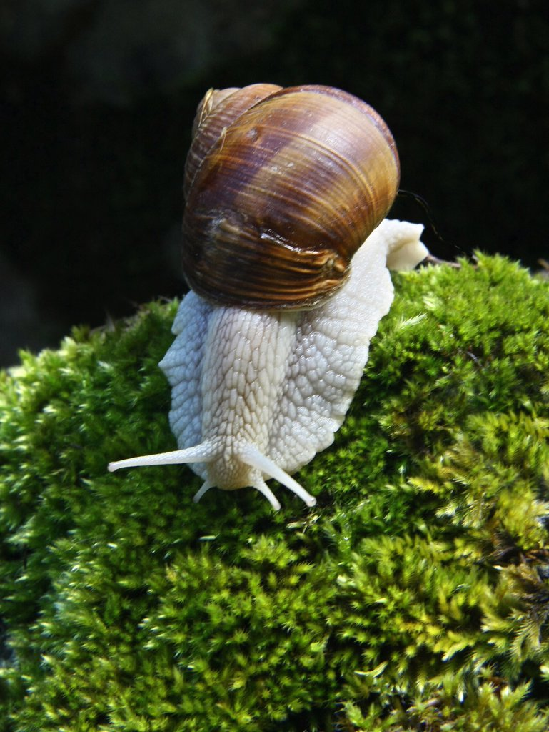 Snail on moss : Stock Photo