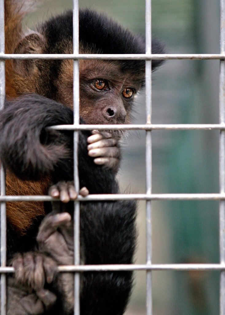 Stock Photo: 4292-108986 Monkey in cage
