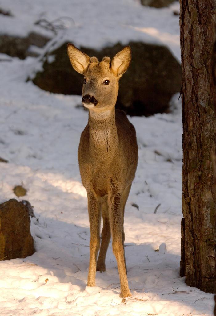 Young male roebuck : Stock Photo