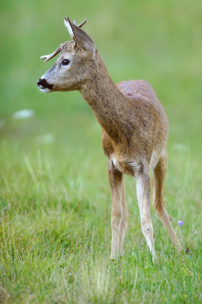 Roe deer (Capreolus capreolus) : Stock Photo