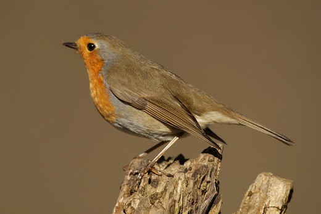 European Robin (Erithacus rubecula) : Stock Photo