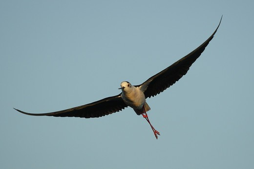 Black-winged stilt ( Himantopus himantopus) in flight : Stock Photo