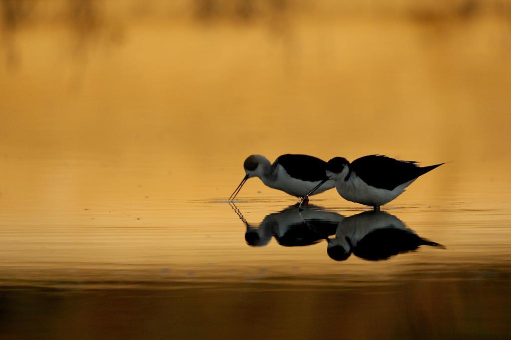 Black-winged stilt ( Himantopus himantopus) drinking : Stock Photo