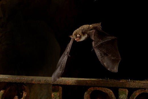 Bat hanging upside down - pteropus sp : Stock Photo