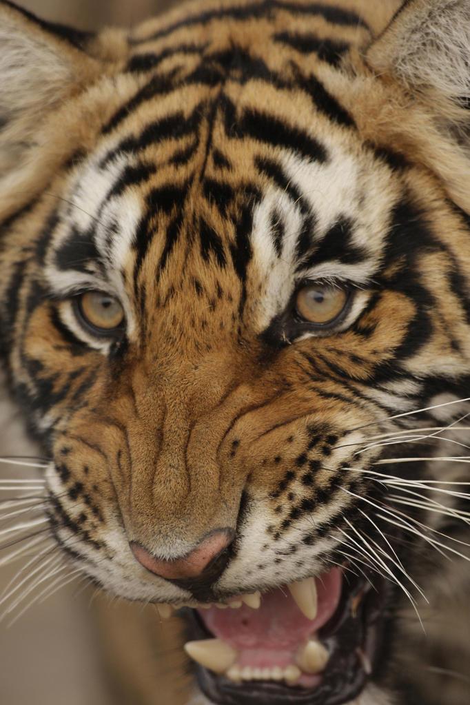 India, Ranthambore National Park. Tiger roaring : Stock Photo