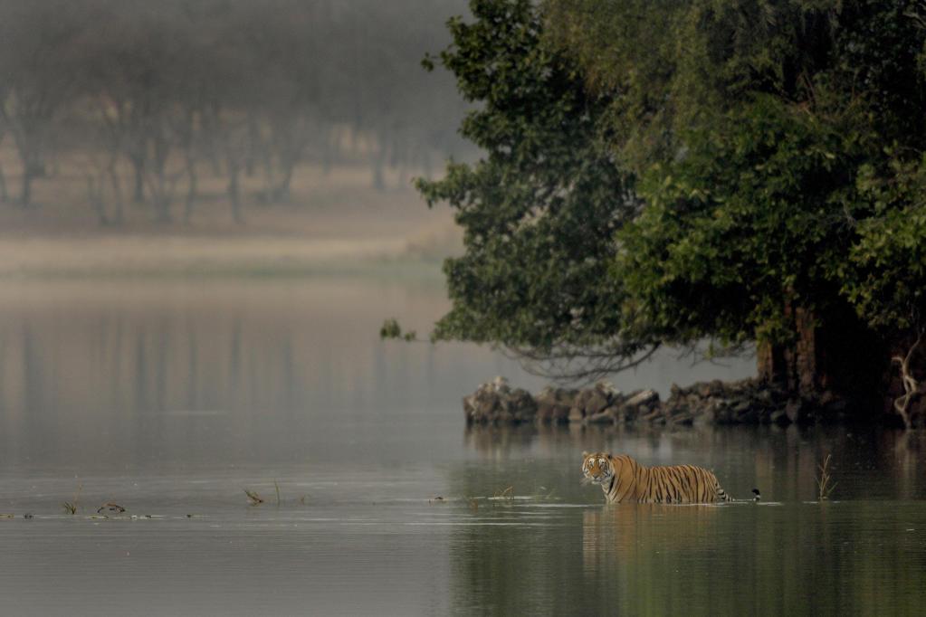 India, Ranthambore National Park. Tiger : Stock Photo