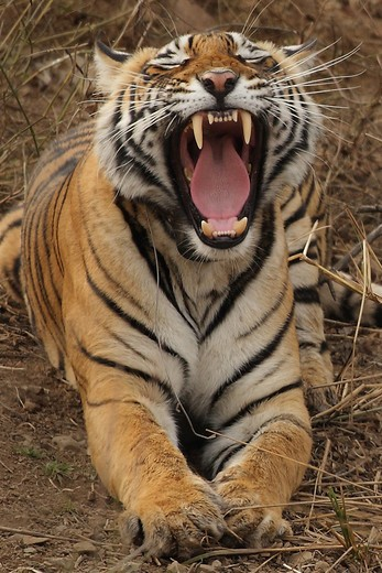 India, Ranthambore National Park. Tiger roaring : Stock Photo