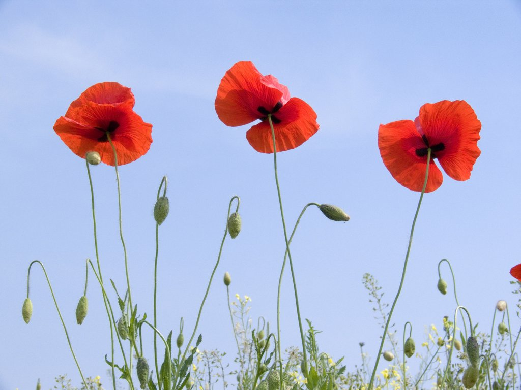Stock Photo: 4292-117085 Poppies