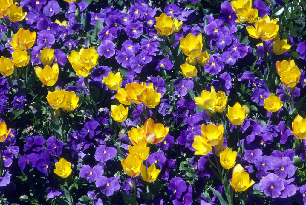 Yellow tulips and violets : Stock Photo