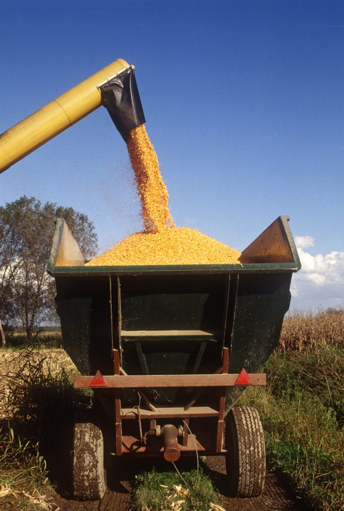Stock Photo: 4292-117742 Harvesting corn