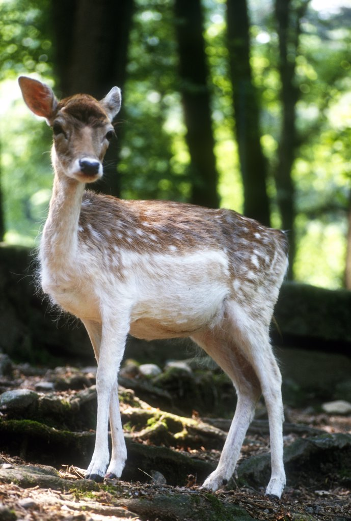 Stock Photo: 4292-118064 Young Fallow Deer,(Dana dana)