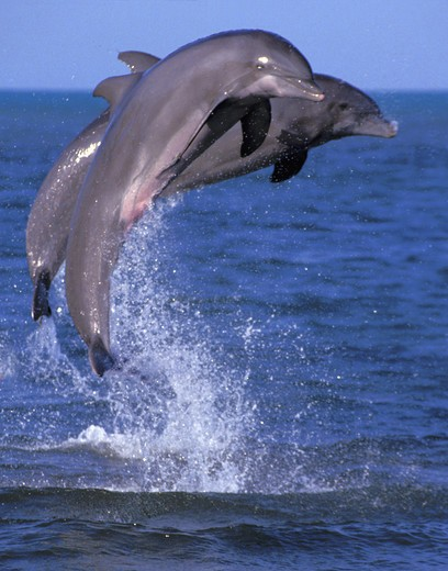 Two dolphins jumping : Stock Photo