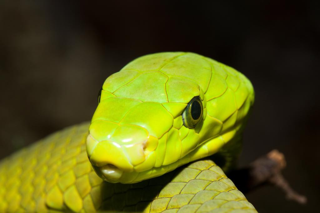 Stock Photo: 4292-140312 Eastern Green Mamba, Dendroaspis angusticeps, Kenya