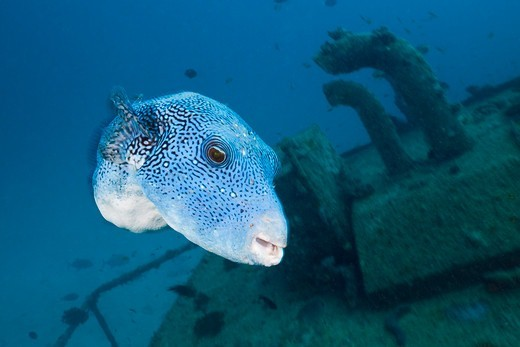 Stock Photo: 4292-152303 Scuba Diver at Maldive Victory Wreck, North Male Atoll, Indian Ocean, Maldives