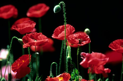 Red poppy : Stock Photo