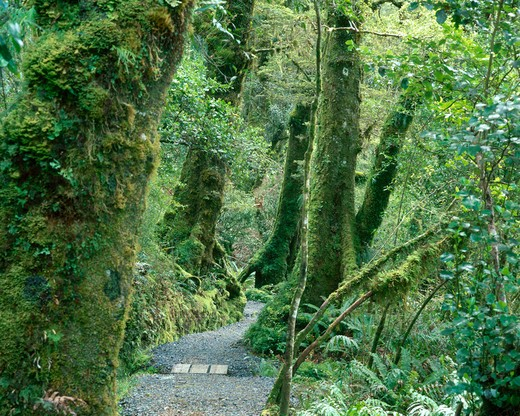 New Zealand, West Coast of the South Island, the rain forest : Stock Photo