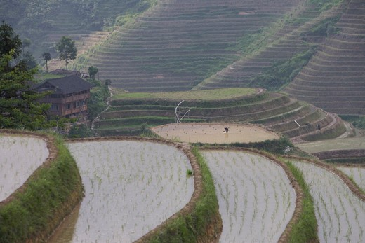 Stock Photo: 4292-36737 China. Guangxi Province. Guilin. Longsheng terraced ricefields